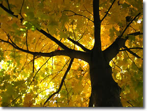 Beautiful tree with yellow leaves